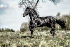 Beautiful black friesian stud stallion. Beautiful friesian stud stallion. In the pasture in the light of the sun black king of Polish horse breeding stock photography