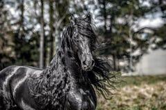 Beautiful black friesian stud stallion. Beautiful friesian stud stallion. In the pasture in the light of the sun black king of Polish horse breeding stock photo