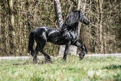 Beautiful black friesian stud stallion. Beautiful friesian stud stallion. In the pasture in the light of the sun black king of Polish horse breeding stock image