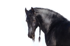Beautiful frisian stallion Stock Photography