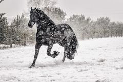 Beautiful frisian stallion portrait in the snow. Beautiful black frisian stallion portrait in the snow royalty free stock images