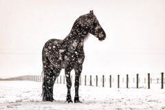 Beautiful frisian stallion portrait in the snow. Beautiful black frisian stallion portrait in the snow royalty free stock photos