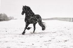 Beautiful frisian stallion portrait in the snow. Beautiful black frisian stallion portrait in the snow stock images