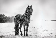 Beautiful frisian stallion portrait in the snow. Beautiful black frisian stallion portrait in the snow stock photo