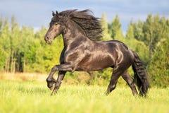 Beautiful Frisian stallion running free. Royalty Free Stock Images
