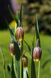 Beautiful Fritillaria uva-vulpis Purple bulbs with Yellow ending Stock Photos