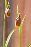 Beautiful Fritillaria uva-vulpis Purple bulbs with Yellow ending Stock Photography