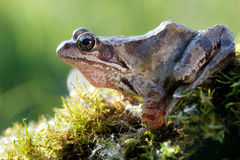 Beautiful frog Royalty Free Stock Photography