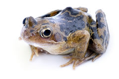 Beautiful frog Stock Image