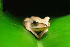 Beautiful frog Royalty Free Stock Images