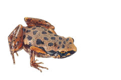 Beautiful frog. On a white background Royalty Free Stock Images
