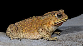 Beautiful Frog, Frog on the rocks Stock Photography