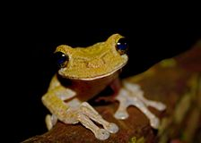 Frog from Cuyabeno, Ecuador stock image