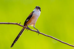 Beautiful frontside of Long-tailed Shrike Stock Photos