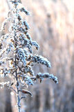 Beautiful frosted plant. Royalty Free Stock Photography