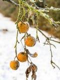 Beautiful frozen apple in winter Royalty Free Stock Image