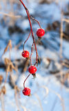 Beautiful frozen branch of rosehip berries on blue snow background Royalty Free Stock Photo