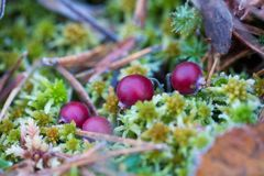 A beautiful frozen cranberries in a morning wetlands. Healthy food with vitamins. Royalty Free Stock Image