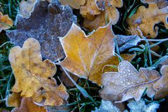 Frozen maple leafs. Hoarfrost on withered leaves. royalty free stock photo