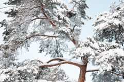 Beautiful frozen pine tree in winter forest. Stock Photos