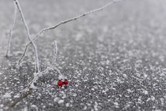 Beautiful frozen red berries on branch with ice crystals. Withered red berries on frozen on snowy ice background.  Frosted berries under snow on freezing Stock Photos