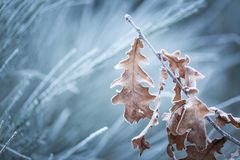 Beautiful frozen tree branch with  dead leaves Stock Photos