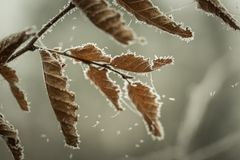 Beautiful frozen tree branch with  dead leaves Royalty Free Stock Images