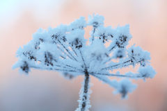 Beautiful frozen winter plant Stock Images