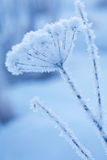 Beautiful frozen winter plant Royalty Free Stock Photo
