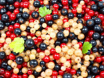 Beautiful fruit. Macro photo of red, black abd white currant with leaves royalty free stock photo