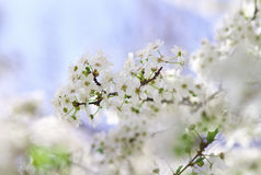 Beautiful fruit blossom outdoors. Royalty Free Stock Photography