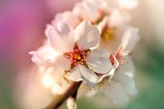 Beautiful fruit flower close-up, beautiful flowering. Blooming in springtime Royalty Free Stock Photo