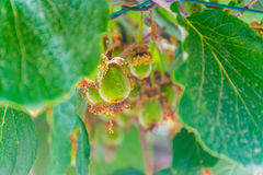 Beautiful fruit Kiwi ripen in the picturesque gardens Stock Photo