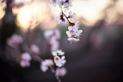 Beautiful fruit tree blooming, spring time apricot blossom at sunset.  stock photo