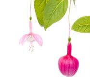 Beautiful Fuchsia Flower Royalty Free Stock Images