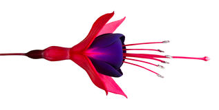 Beautiful Fuchsia Flower Isolated on White Stock Photos
