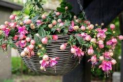 Beautiful fuchsia flowering plants in old wicker pot stock photography