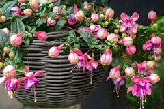 Beautiful fuchsia flowering plants in old wicker pot stock photos