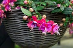 Beautiful fuchsia flowering plants in old wicker pot stock photo