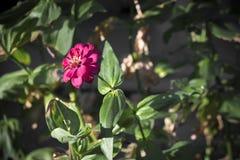 Beautiful fuchsia flowers blooming. Green bush. royalty free stock photography