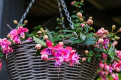 Beautiful fuchsia flowers hanging from the pot,in the garden.  stock image