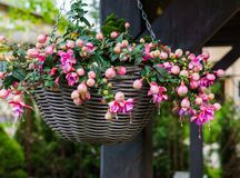 Beautiful fuchsia flowers hanging from the pot,in the garden.  royalty free stock photo