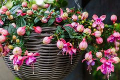 Beautiful fuchsia flowers hanging from the pot,in the garden stock photography
