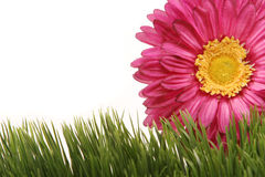 Beautiful fuchsia gerbera daisy flower on green grass isolated on white background. Beautiful fuchsia color gerbera daisy flower peeking behind green grass Royalty Free Stock Photo