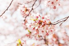 Beautiful full bloom cherry Blossom in the early spring season. Pink Sakura Japanese flower stock images