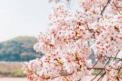 Beautiful full bloom cherry Blossom in the early spring season. Pink Sakura Japanese flower stock image