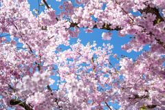Beautiful full bloom cherry Blossom trees in the early spring se stock image