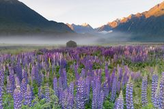 Beautiful full bloom lupine flower with mountain background. New Zealand natural landscape background stock images