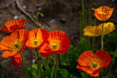 Beautiful full bloom poppy flowers in springtime sunny day. Closeup beautiful full bloom poppy flowers in springtime sunny day stock photo