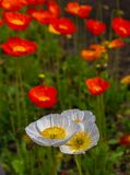 Beautiful full bloom poppy flowers in springtime sunny day royalty free stock images
